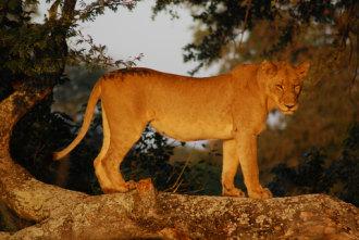 Lioness in Kruger Park, South Africa