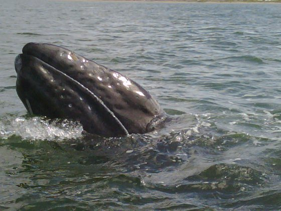 Gray Whale Los Cabos